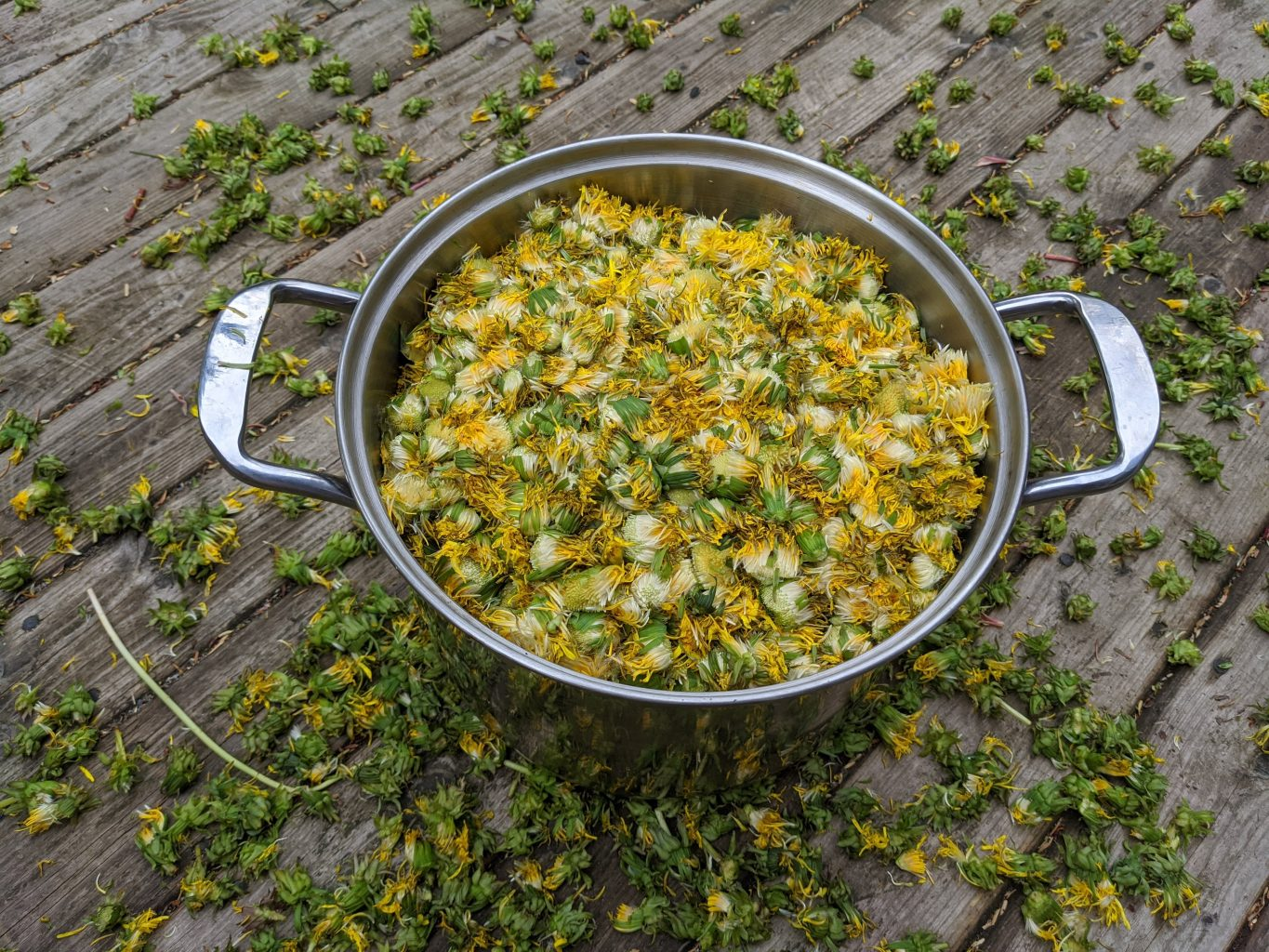 Large, two-handled metal cooking pan filled with picked dandelion flowers, on a wooden floor scattered with picked dandelion flowers